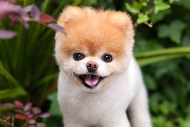 World's Cutest Dog, Boo is dead