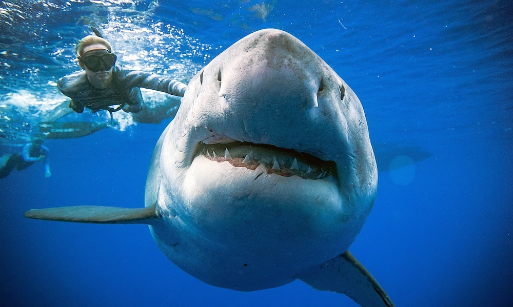 Diver Ramsey's Encounter with a Giant Great White Shark goes Viral