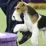 143rd Westminster Dog Show wraps up with fox terrier becoming the king of the show