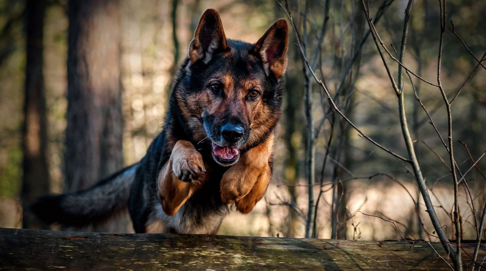 Military Dogs attacks Jihadists, saves 6 soldiers