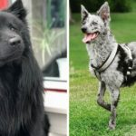 10+ Rare Dog Breeds Which You Might Never Have Heard Of