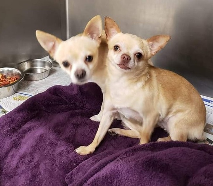 Is it a two-headed chihuahua? Open your brain and eyes & see the image again!