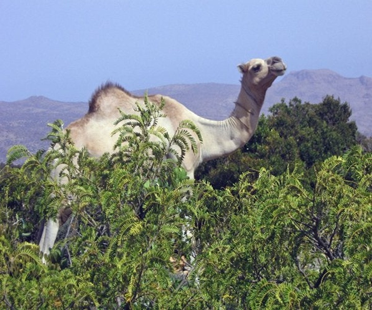 The giant camel, taller than trees