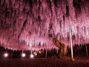 144 Year Old Japanese Plant Looks Like The Sky Is Pink