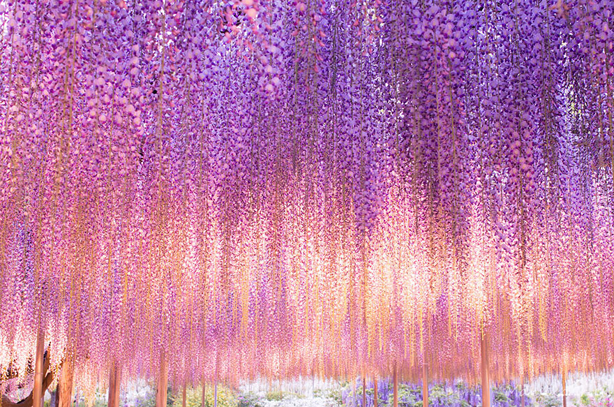 Hanging Wines of Pink textured Wisteria Tree
