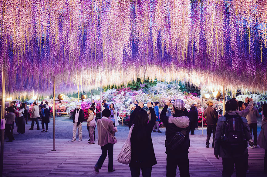 Japanese oldest wisteria tree resembles a pink sky