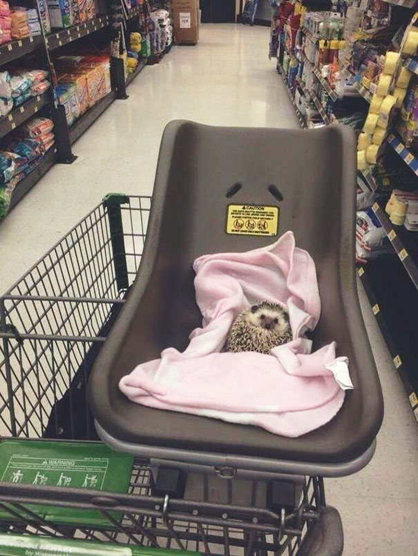 The cute hedgehog rests in a basket