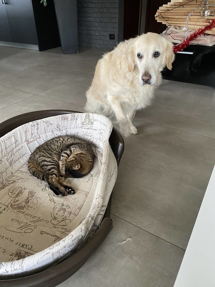 I Captured My Dog Crying For Help Every Time My Tiny Old Cat Steals Her Bed. She'll Sleep On The Floor Rather Than Steal It Back