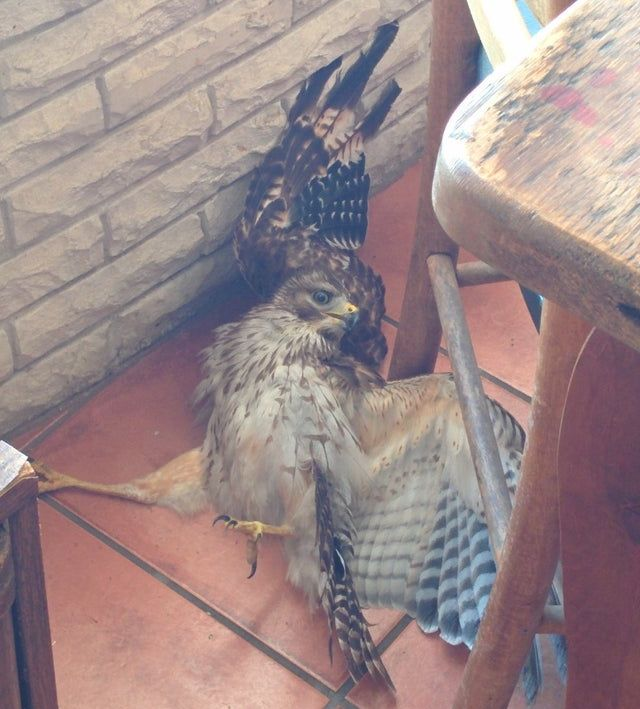 This hawk came into my house this morning