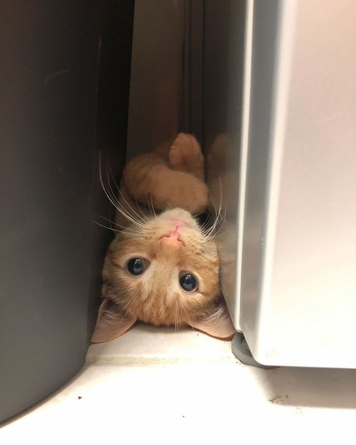 The cat puts her paw in the fridge to get some food