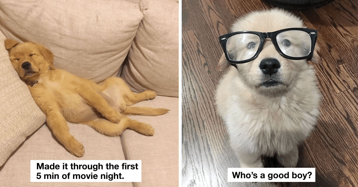 30+ pics that show that golden retrievers are the best