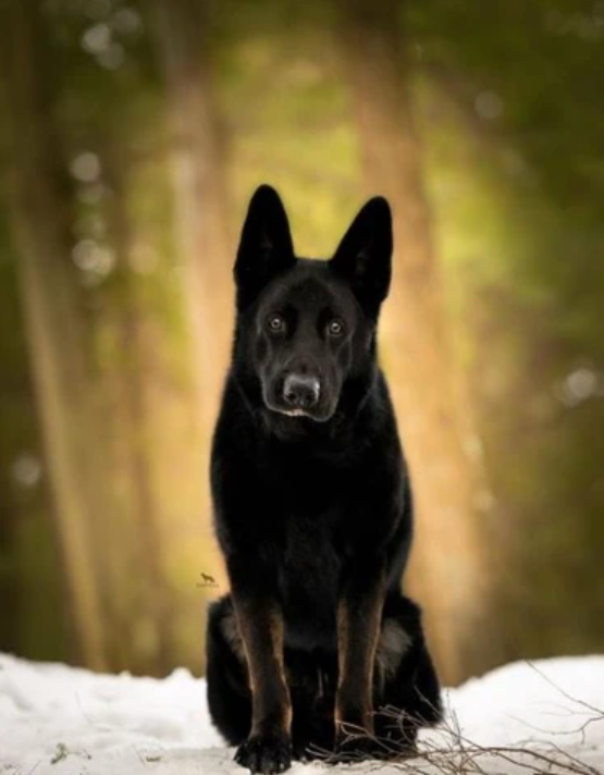 This german shepherd is a strict observant.