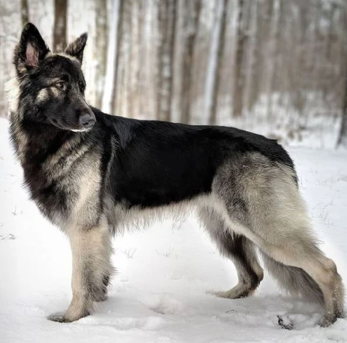 The black and white german shepherd standing in the snow