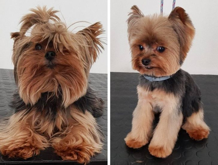 A groomed Yorkie is a confused Yorkie