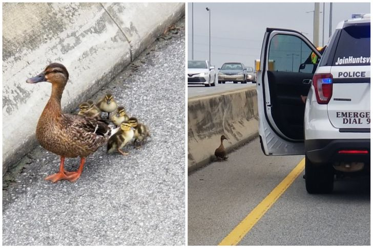 Police officers shut down the road for these ducks to pass