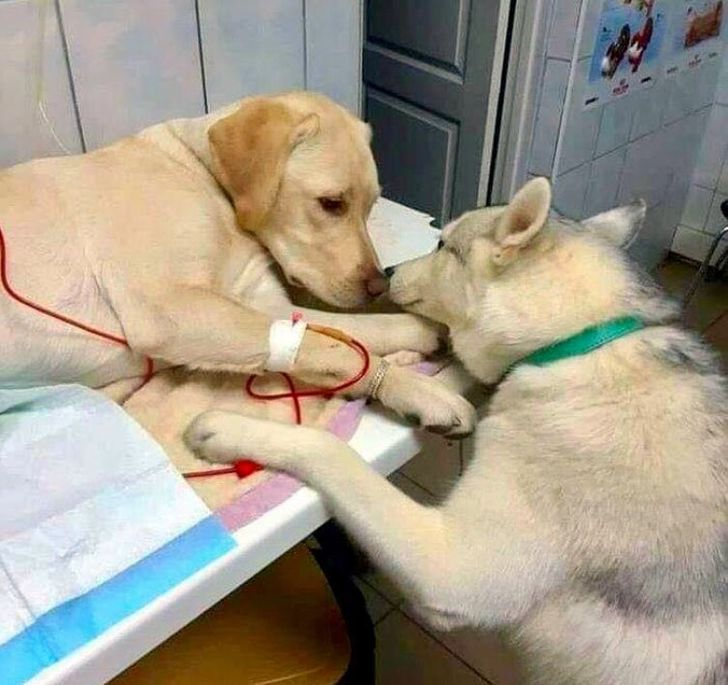 So my friend's vet has a comfort dog assistant that helps sick patients know that everything will be alright