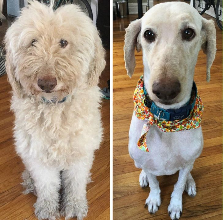 Our 9-year-old Goldendoodle freaked our other dog out after coming home from the groomer