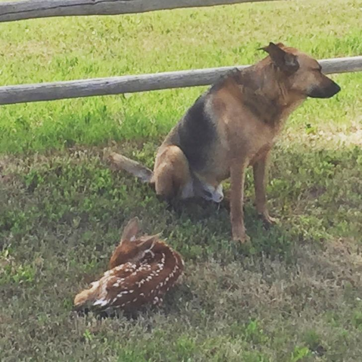 Our herding dog spent the day guarding Bambi until the mom came! Wilson is a dang good boy