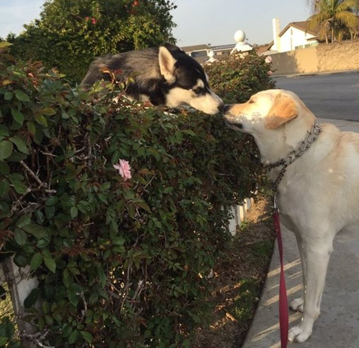 Every time I take my dog for a walk, she has to stop to see her crush. It's like Romeo and Juliet