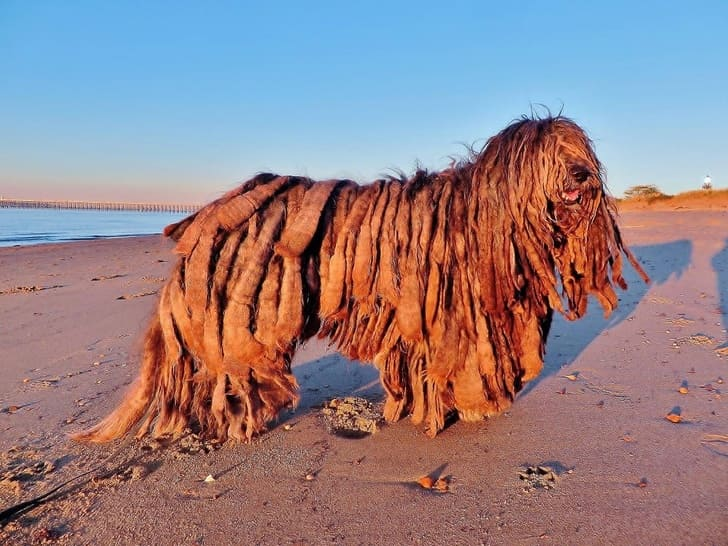 This is a rare type of dog breed called the Bergamasco Shepherd