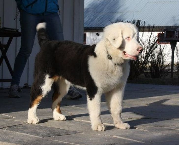 This is a Bernese Mountain dog