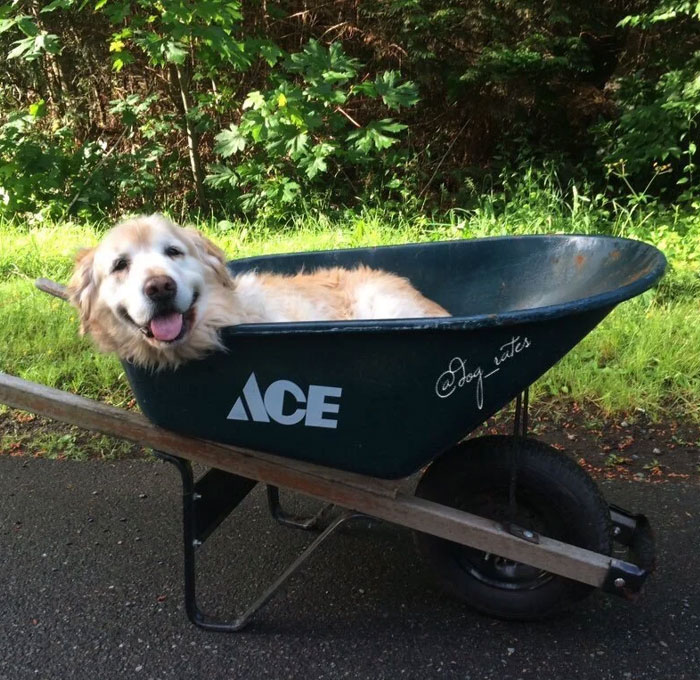 My Dog Is Too Old To Go On Walks Anymore, So My Brother Put Her In A Wheelbarrow And Went Around The Neighborhood