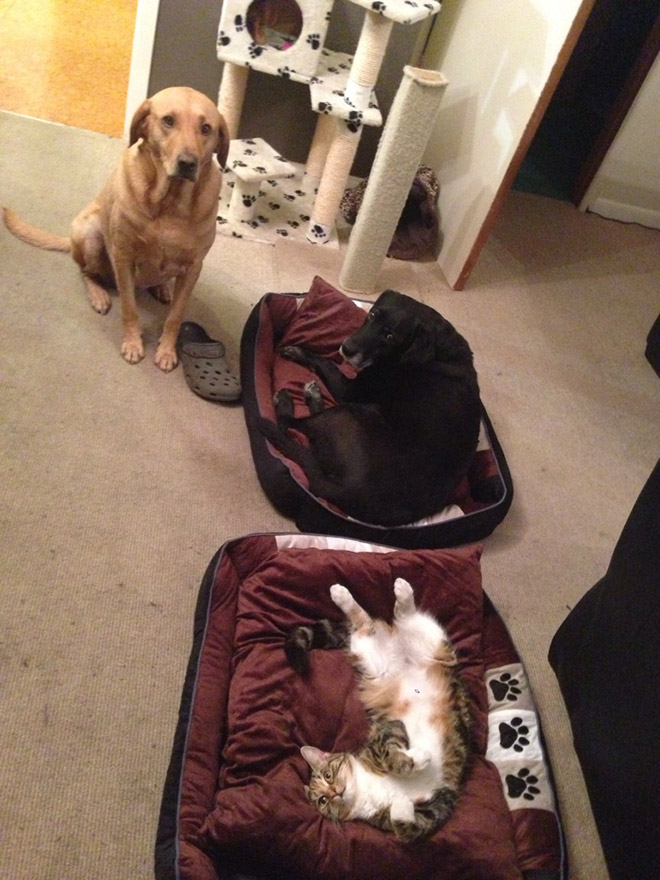 Cats Who Stole Dog Beds