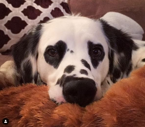 Charlie the Dalmatian likes giving people heart eyes