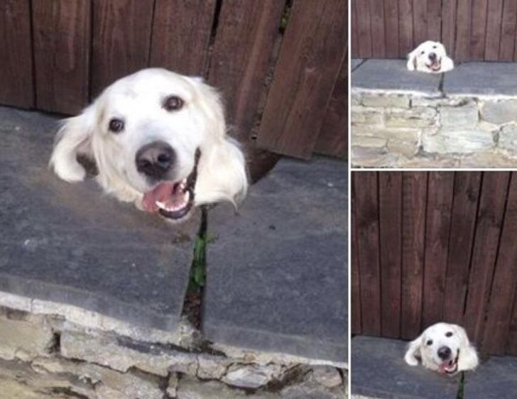 Every day this dog pokes his head through the fence so he can say hello to kids going to school