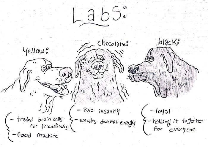 Huh, I never knew different coats of fur meant different personalities in labs