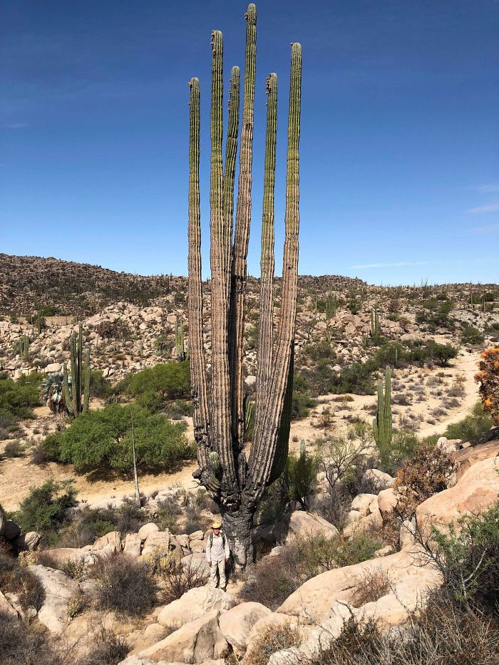 Yes, there's a human at the bottom of this giant cactus. One of the best comparison photos!